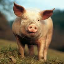 Wasserbedarf Bei Schweinen Schwein Bayerfarm De