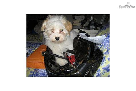kase havanese puppies for sale from kase havanese nextdaypets