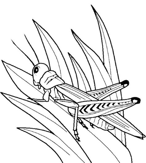grasshopper insect bug coloring pages kids coloring