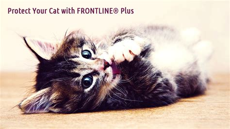 Protect From Cat by Protect Your Cat From Ticks And Fleas With Frontline Plus