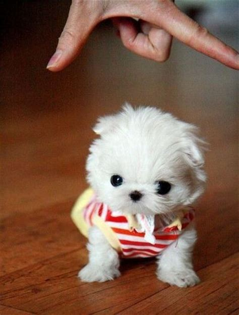 snowball puppy fluffy snowball tiny puppy puppies galore juxtapost