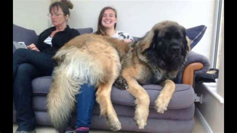 leonberger dogs leonberger the jumbo from germany