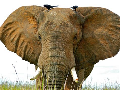 Africa's Two Elephant Species Move Closer to Endangered ...