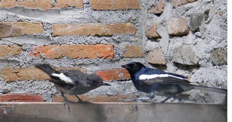 Benelux Primus Pakan Burung Kenari 6 cara terbukti berhasil ternak burung kacer
