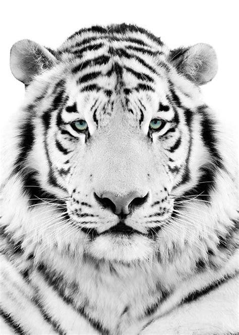 Tiger White white tiger poster