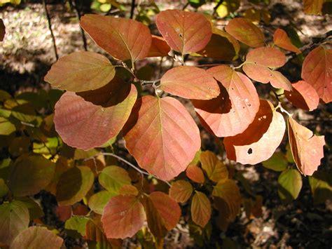 fall foliage plants ten favorite plants for foliage deb s garden deb s