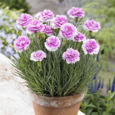 fiori di garofano garofano piante da giardino coltivazione fiore garofano