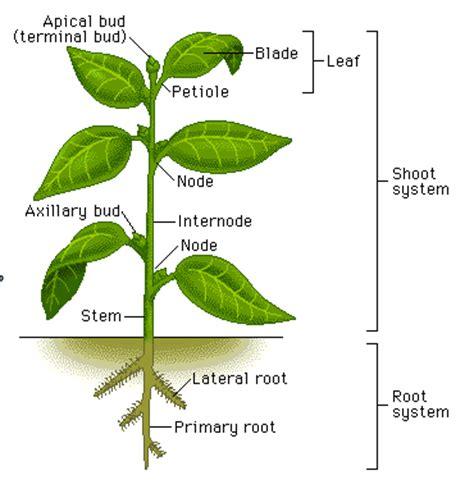 bean plant diagram s garden venture flowers and trellises