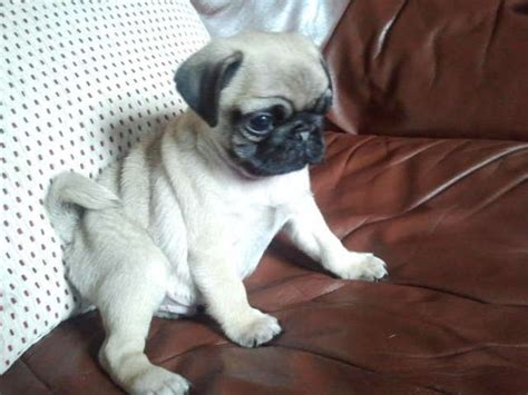 kennel club pug breeders kennel club assured breeder pug puppies bradford west pets4homes