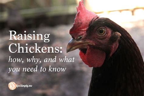 backyard poultry rearing raising backyard chickens how why and what you need live simply