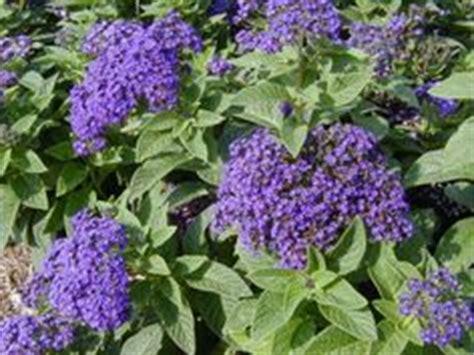 garden heliotrope heliotropium arborescens annual except