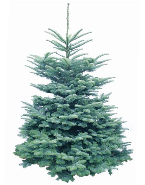 noble fir christmas trees delivered