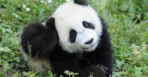 oso panda oso panda 0805087567 conoce a quizai el 250 nico panda marr 243 n que existe en el mundo urbanian