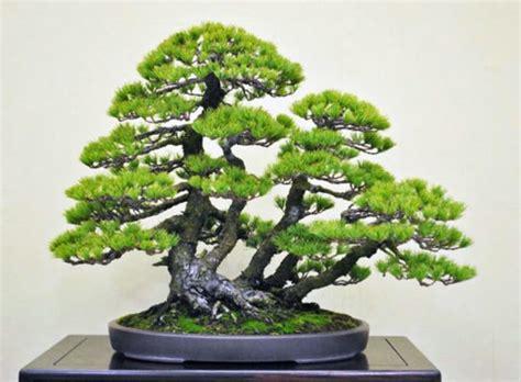 Bibit Bonsai Cemara Udang 10 jenis tanaman hias bonsai terbaik dan paling banyak dicari