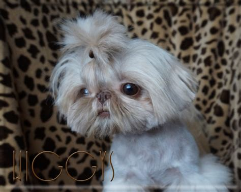 imperial shih tzu prices iron butterfly imperial shih tzu tiny teacup puppies for sale quality small