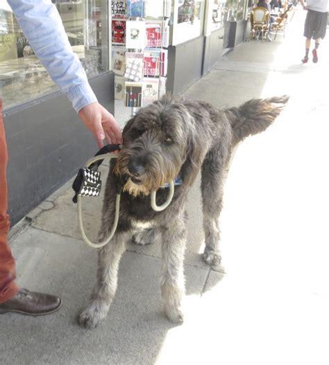 sheepdog mixed with golden retriever sheepdog golden retriever mix breeds picture