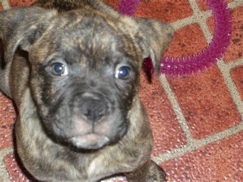 6 week pitbull puppies 6 weeks pitbull puppies great price