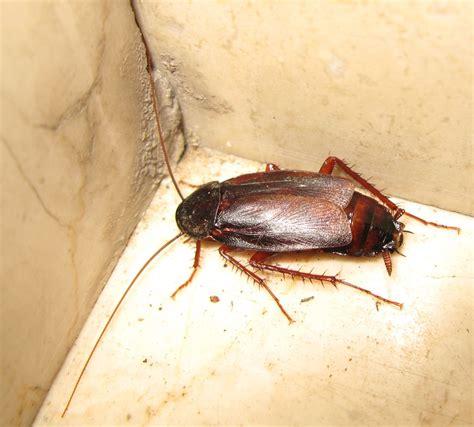 blatte in casa blatta nella cantina di casa maschio di blatta orientalis