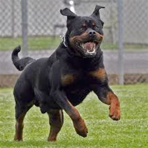 attack dogs gun attack breeds picture