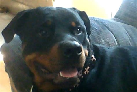 ckc rottweiler breeders ontario rottweiler puppies for sale adoption from thorold ontario toronto adpost
