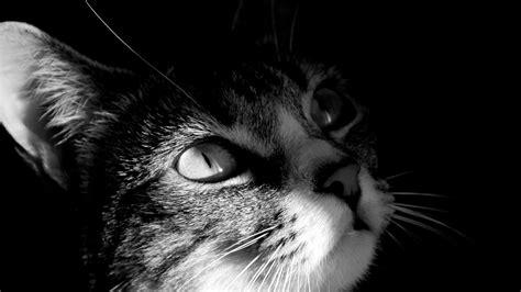 imagenes en blanco y negro gato gato en blanco y negro 1920x1080 fondos de pantalla y