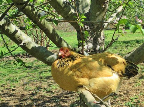 Keeping Free Range Chickens In Your Backyard Keeping Free Range Chickens In Your Backyard Limited Free Range Chickens 12 Tips To Balance