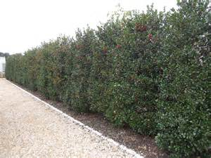 green holly hedging instant hedging amp hedges green