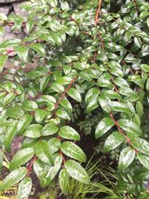 evergreen shrub in zone 8