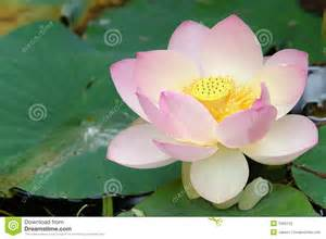 Lotus Embryo Sacred Lotus Flower Up Stock Photo Image 1026120