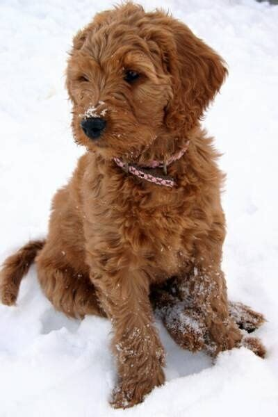 mini goldendoodle traits 111 best images about mini goldendoodle on