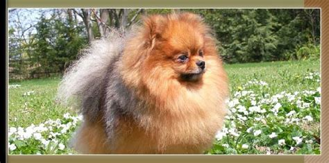 canadian pomeranian breeders map
