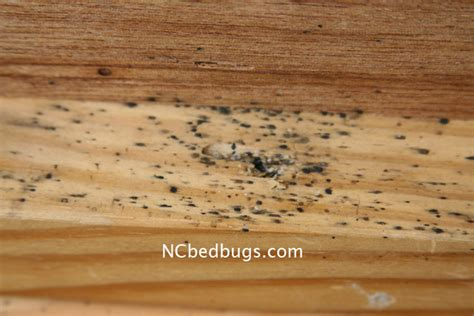 what does a bed bug egg look like dr bed bug free education material on bed bugs cimex