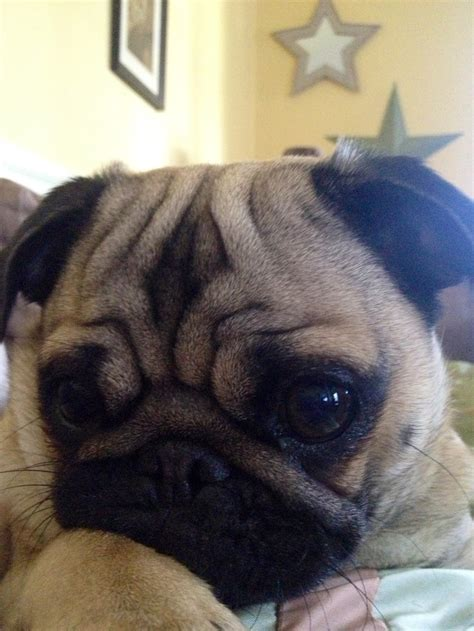 do pugs slobber 5581 best images about pugs