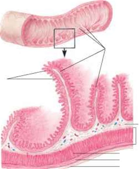 longitudinal section of small intestine secretions of the small intestine blood vessels guws