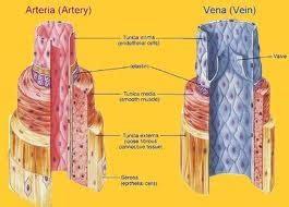 vasi sanguinei i vasi sanguigni sistema circolatorio
