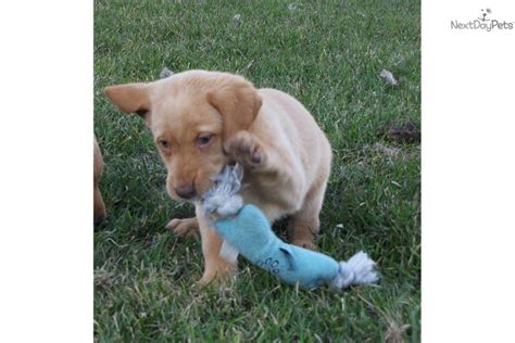 yellow lab puppies for sale in ga golden labrador puppies price driverlayer search engine