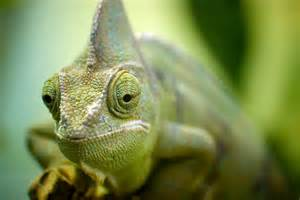 lizard that changes colors 10 things you didn t about chameleons 171 twistedsifter