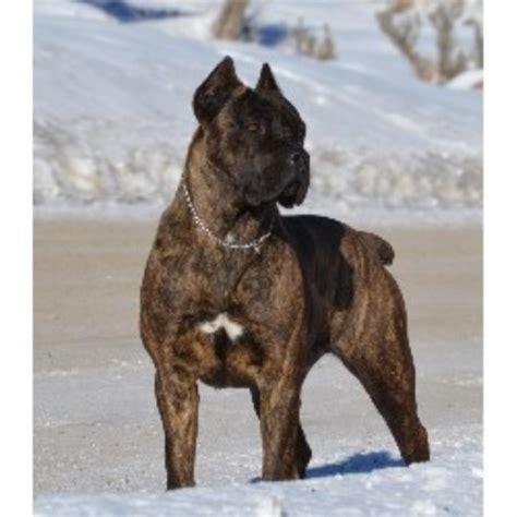 corso puppies ohio fyreland corso corso breeder in pickerington ohio listing id 21239