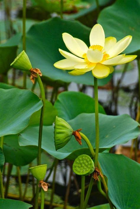 lotus garten gardener lotus garden in virginia
