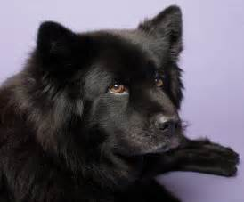 Moonshadow the chow lab mix dogs daily puppy