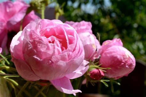Welche Rosensorten Gibt Es 3544 by Die Arten Ein Herrliches Der Sinne