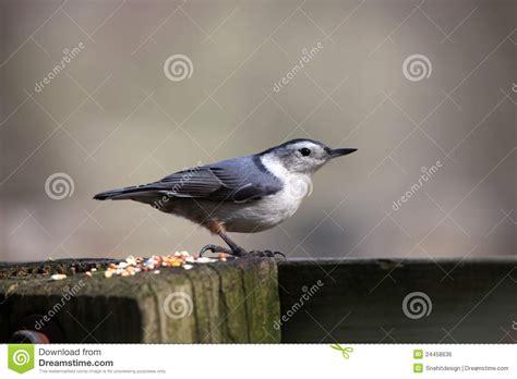 nut hatcher bird royalty free stock image image 24458636