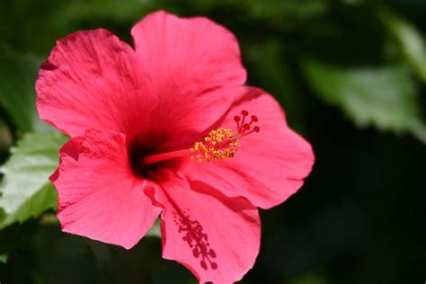 Flower Bunga the story of malaysia s national flower goasiaplus