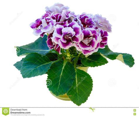 pianta con fiori bianchi molto profumati pianta ricante fiori bianchi profumati top pianta