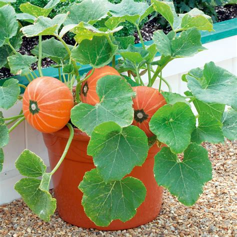 when do i plant pumpkins for pumpkin plants f1 dobies