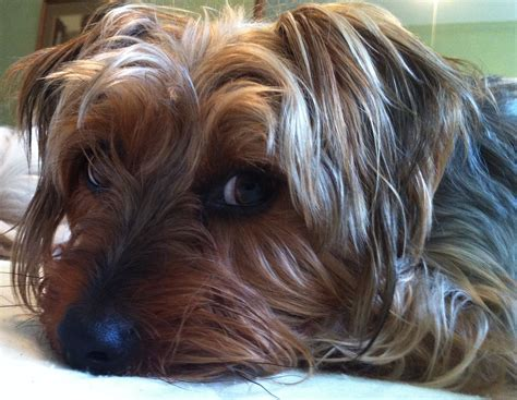 silky and yorkie mix yorkie terrier mix for sale breeds picture