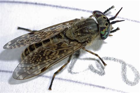 do house flies bite do house flies bite 28 images aid for insect bites waspkill uk pest in fly what