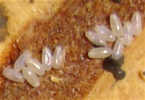 bed bug eggs size bed bug eggs gallery in new york city nyc