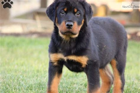 german blockhead rottweiler for sale akc chion german blockhead rottweiler puppies for sale for sale in breeds picture