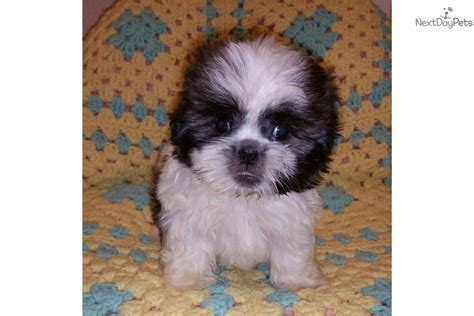 shih tzu puppies for sale near me craigslist shih tzu puppy for sale near las vegas nevada 7d542223 68a1